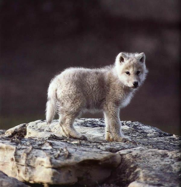 Полярный волчонок (Canis lupus tundrorum). -