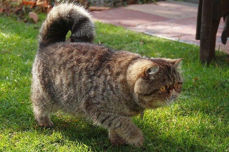 Хозяевам следует регулярно следить за чистотой носа животного. Из-за необычной формы носа кота экзота, у него могут быть проблемы с дыÑанием.