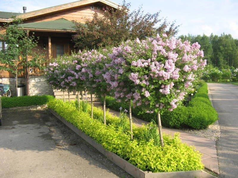 Штамбовые деревья и кустарники