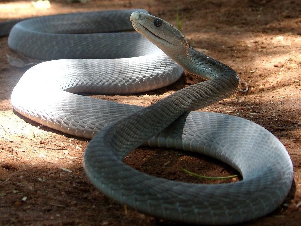 About snakes black mamba