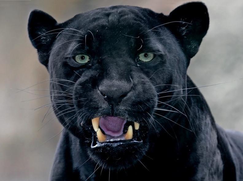 Открытка, картинка пантера с надписями