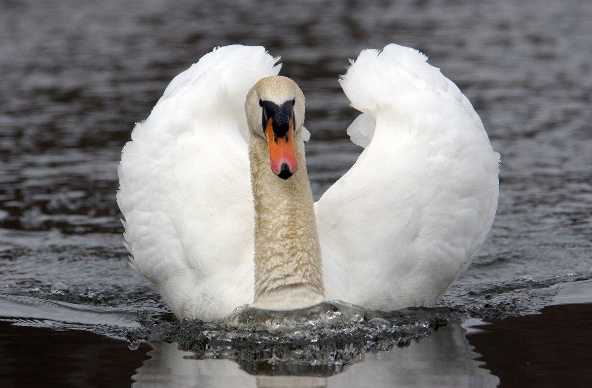 как покажи картинки лебедя ночные клубы