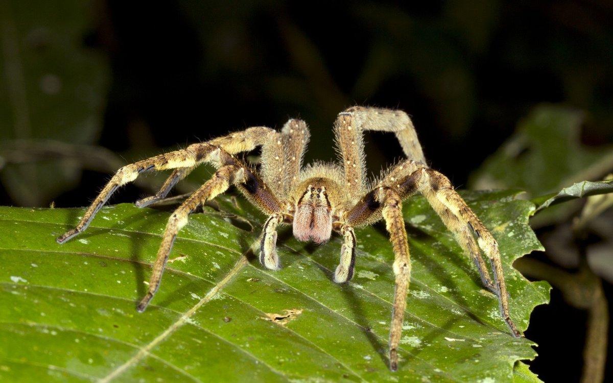 лоск здесь бразильский паук фото богат звучанием цветов