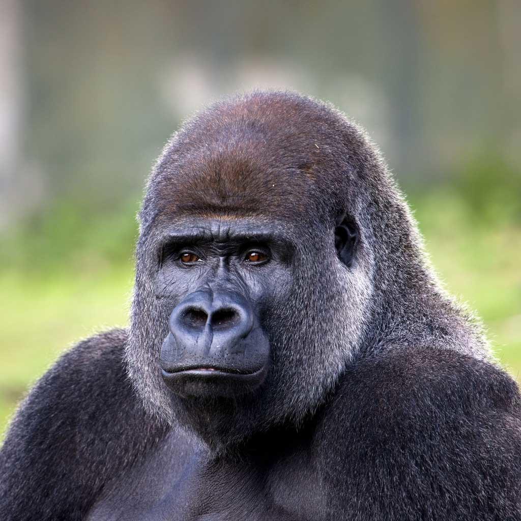 картинки самых больших горилл