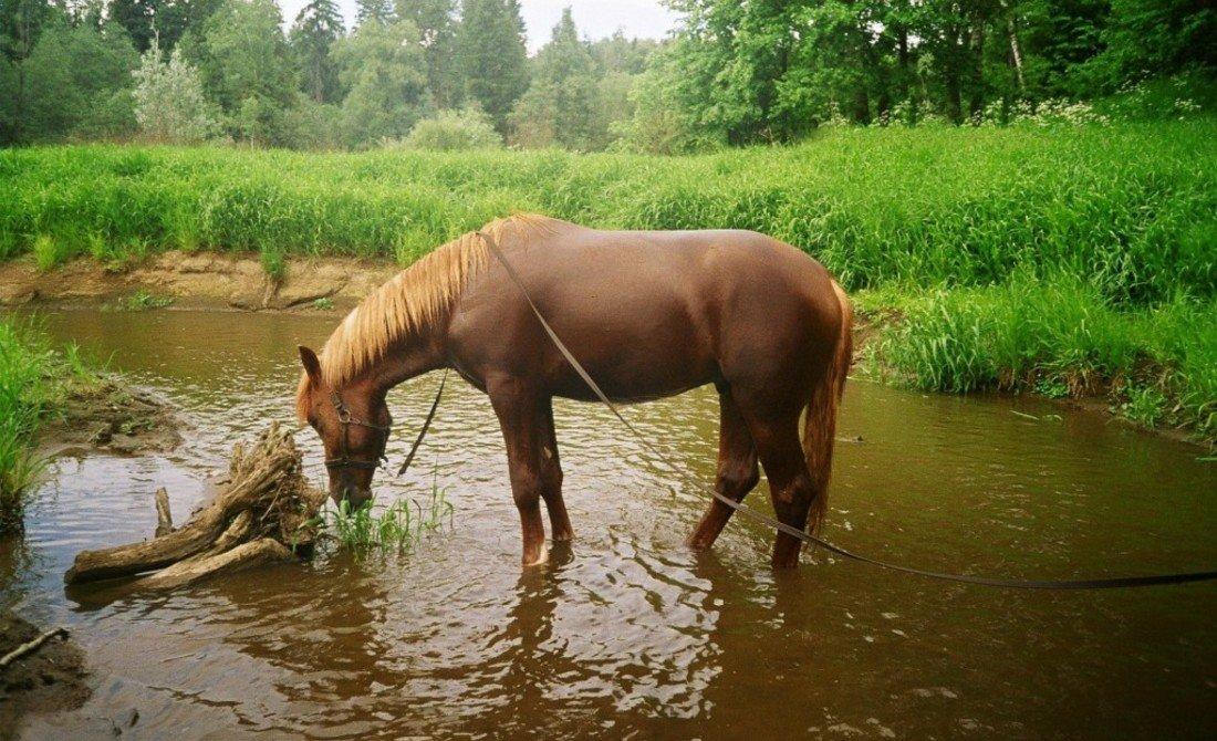 Лошадь пьет воду картинки