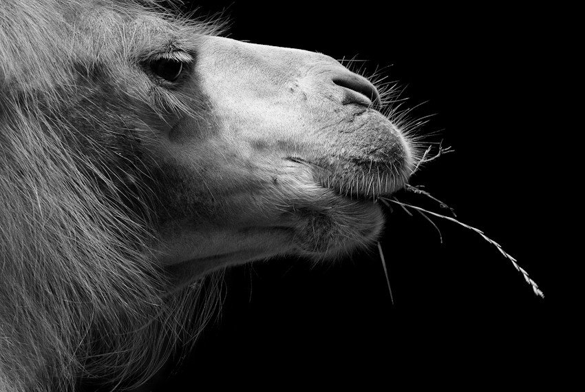 Картинки смешные животные черно белые картинки, красивые