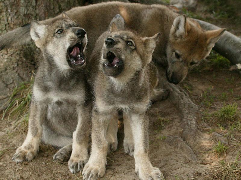 Волчата знакомства