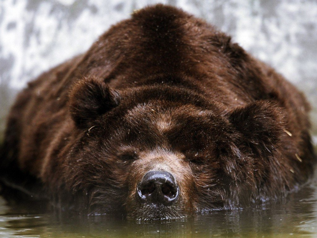 Бурый медведь уснул в воде