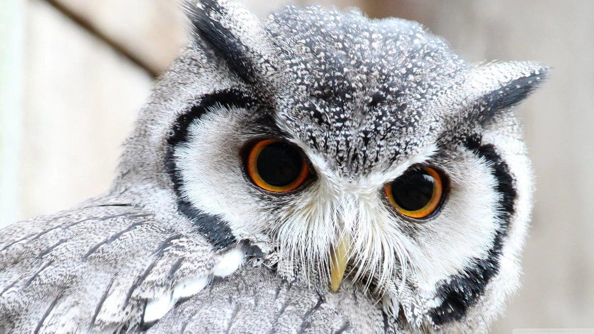 Добрыми, красивые совята белой совы картинки
