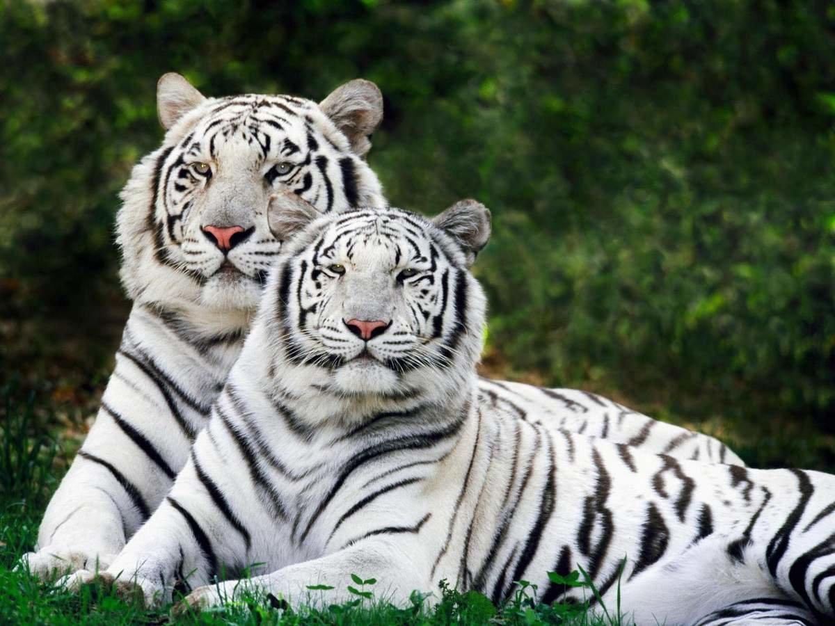 Caratteristiche della tigre