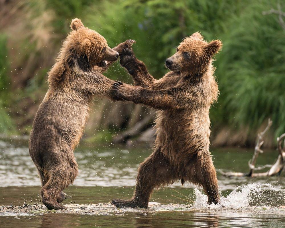 Картинки танцующих медведей