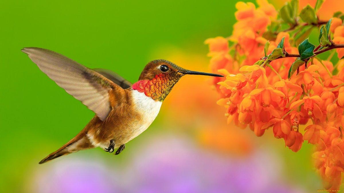 Мартышками, картинка с колибри
