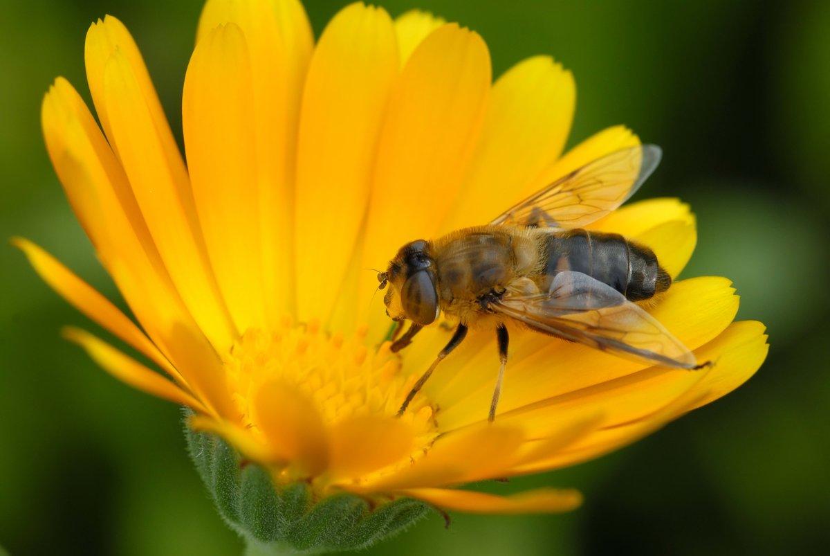 этапе планирования пчела на цветке фотография нигде больше встречала