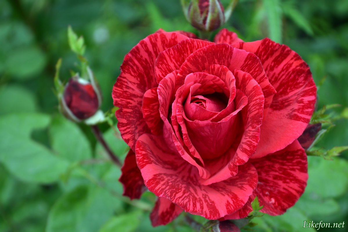 Полосатая роза вблизи — Likefon.net