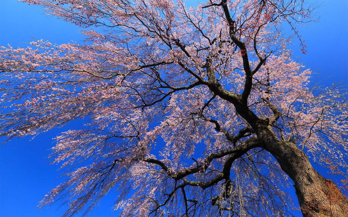 красивое цветущее дерево картинки завершение привлекательный образ