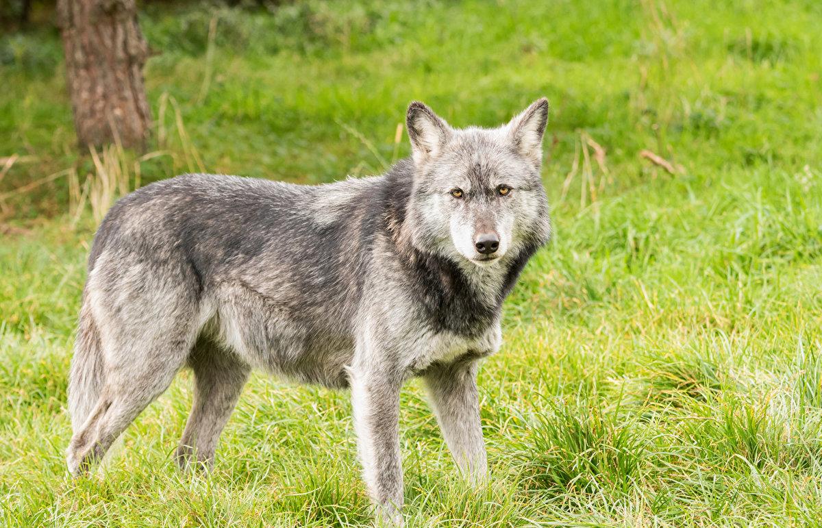 Картинки животных диких волк
