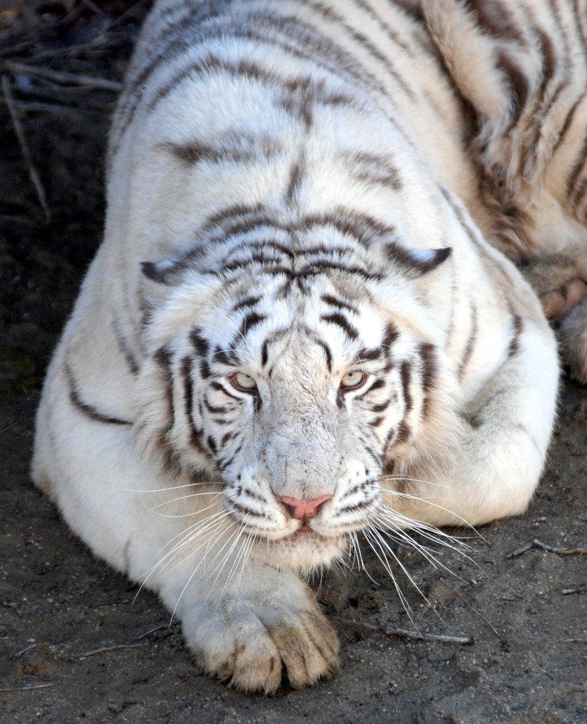 Бенгальский тигр на фото
