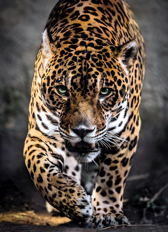 ней контрастные самые красивые фото ягуара даже