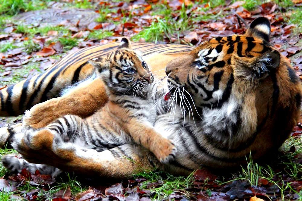 Суматранская тигрица с тигрёнком