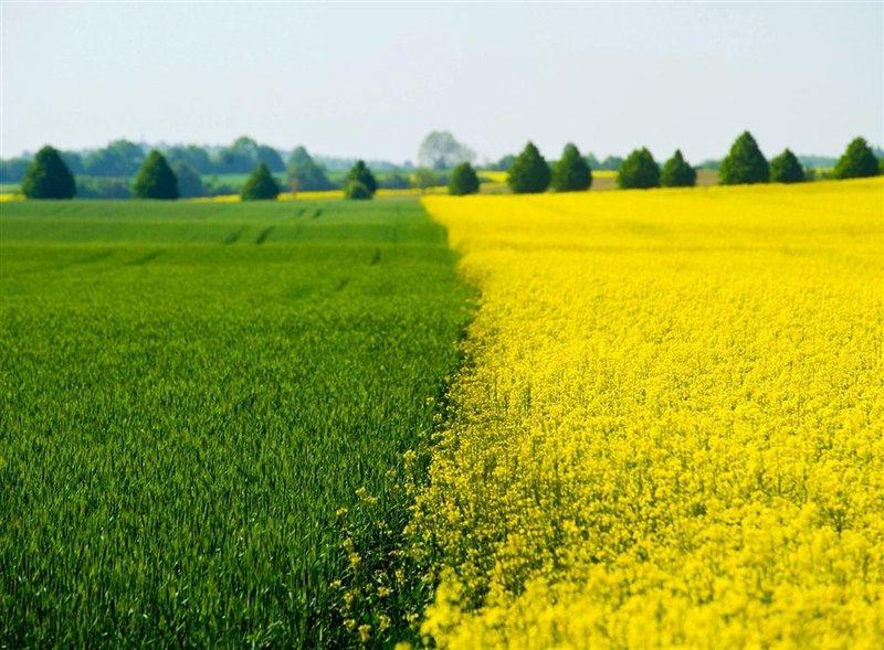 Яркое и красивое жёлто-зелёное поле.
