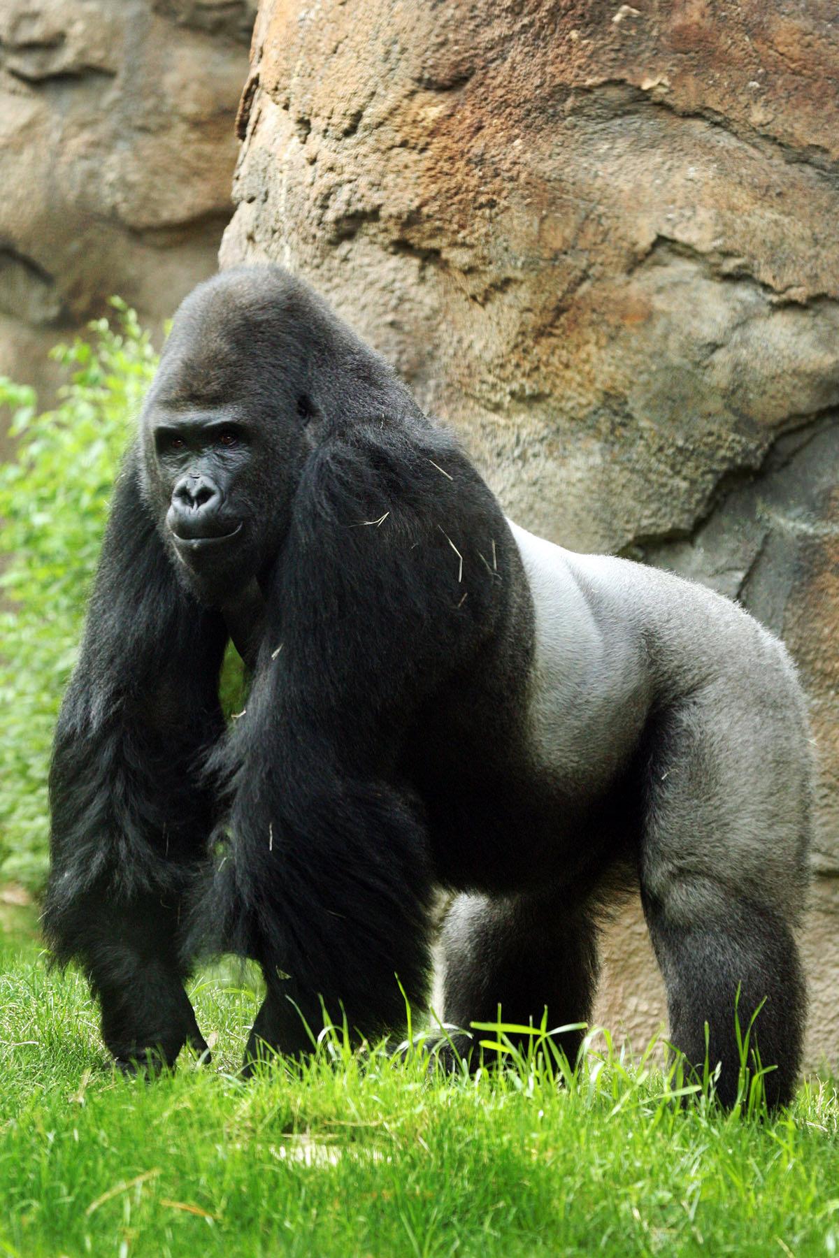 стиль картинки про горилл счастье