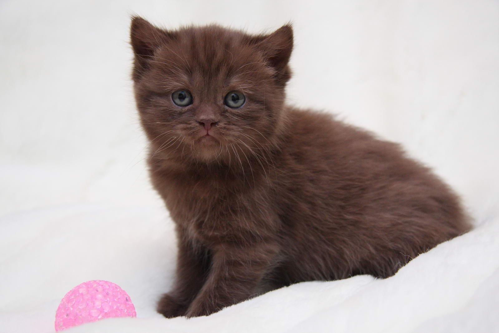 котенок шоколадный фото