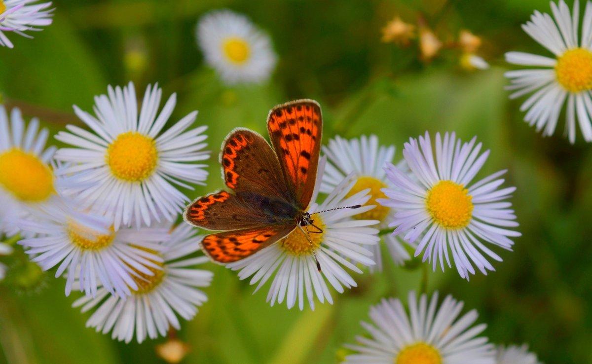Картинки с ромашками и бабочками, натальи