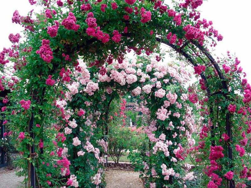 Использование розы для украшения шикарных арок на даче