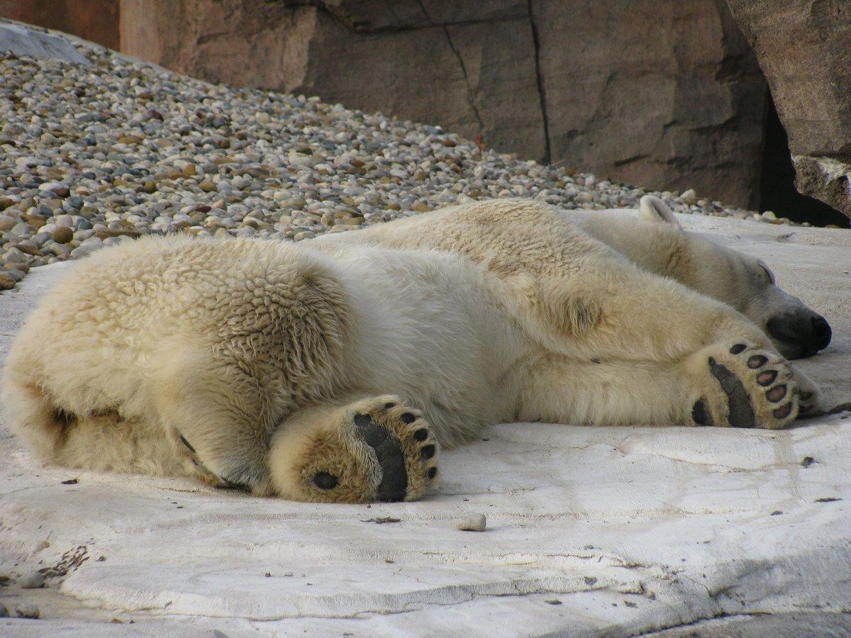 пукаю после спящий белый медведь фото отвечали