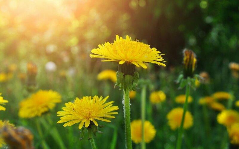Одуванчик - маленькое солнышко | Newpix.ru - позитивный интернет-журнал NewPix.ru - Одуванчик - маленькое солнышко