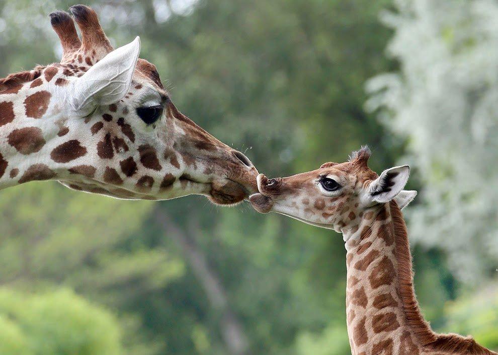Картинки влюбленные, картинки животные прикольные жирафы