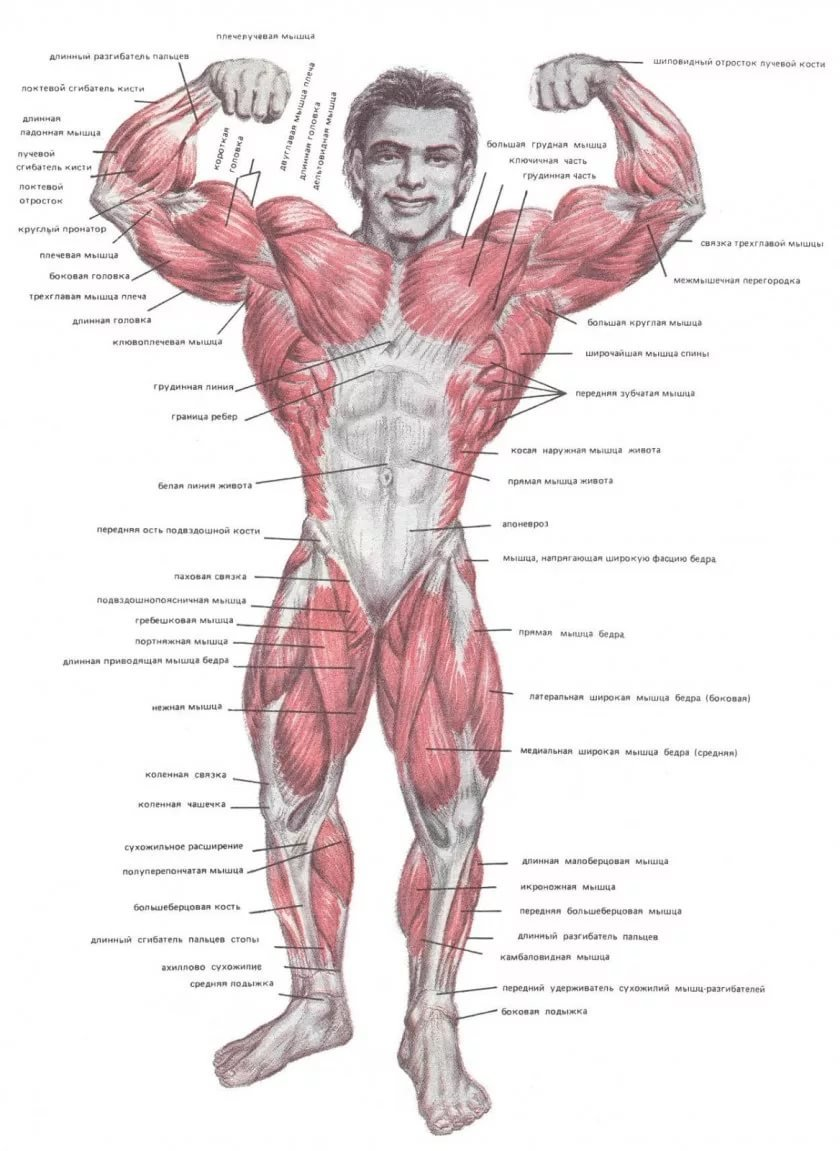 настоящее мышцы человека фото с описанием мышц бодибилдинг всех этапах этой
