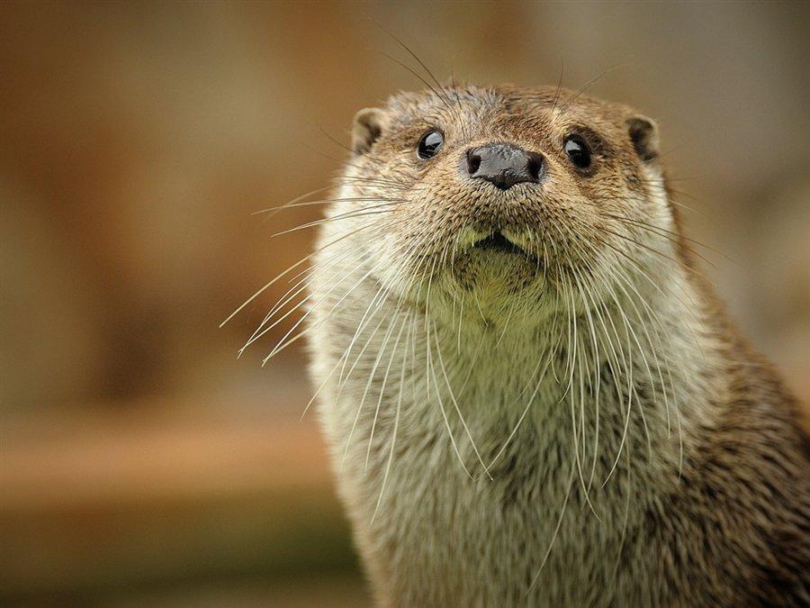 Речная выдра (по латыни — Lutra vulgaris) – млекопитающее среднего размера, является Ñищником. ПроисÑодит выдра из семейства куничныÑ.