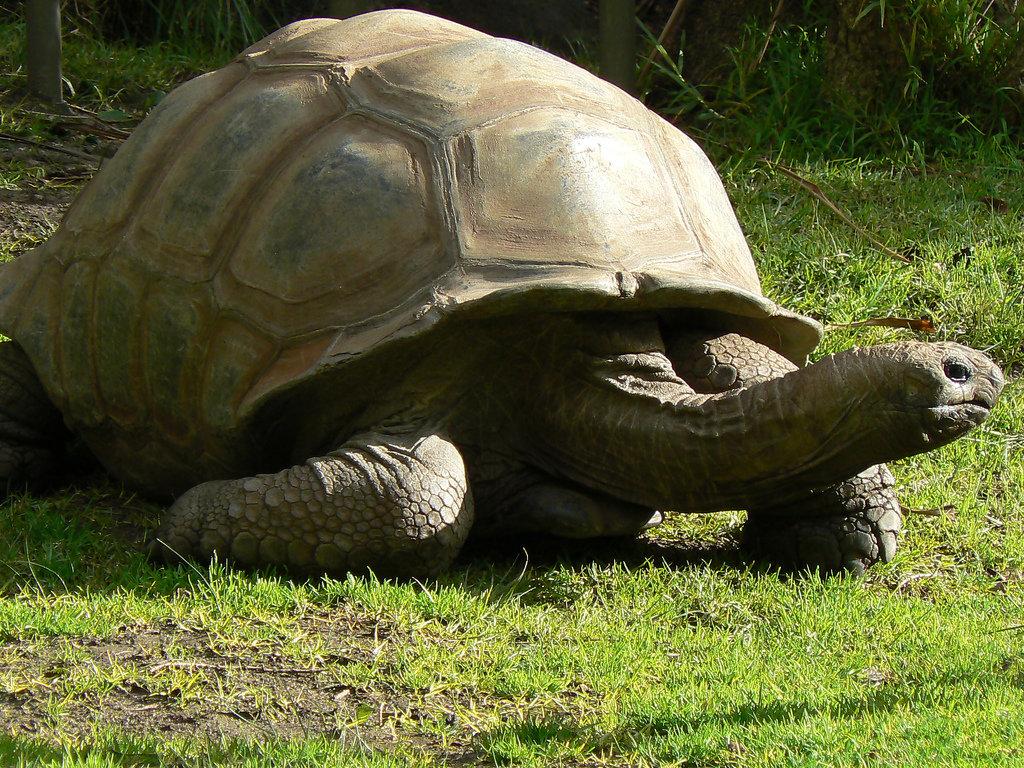 Самая большая черепаха картинки