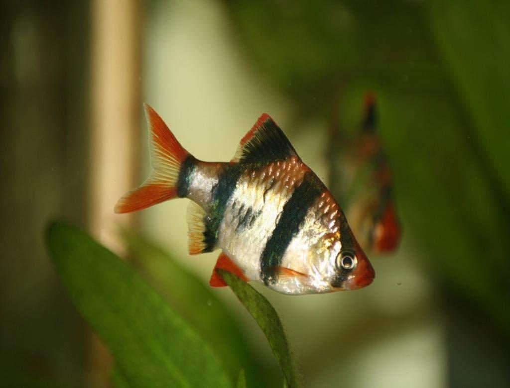 Картинки аквариумных рыбок барбусы