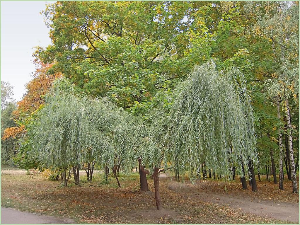 дерево ветла фото