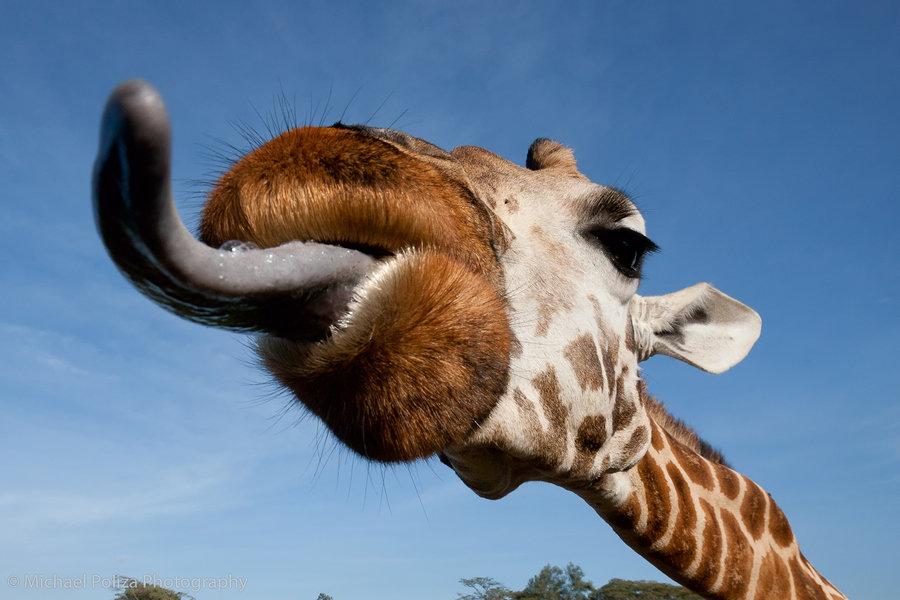 Джоанны басфорд, прикол картинка жираф