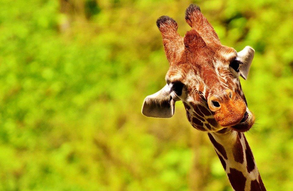 Картинка смешные жирафа, днем