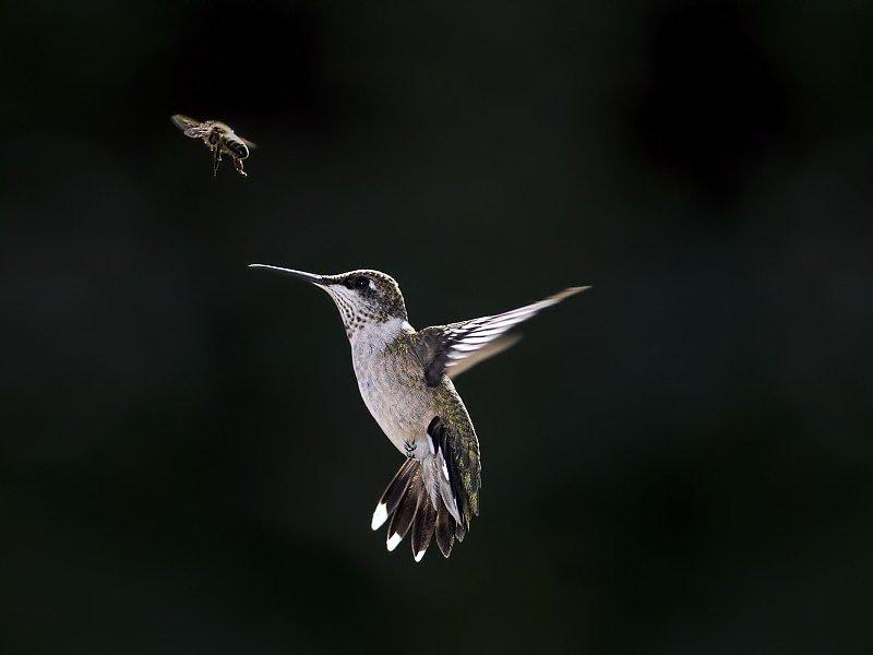 голова, птица колибри фото на белом суде маленьком