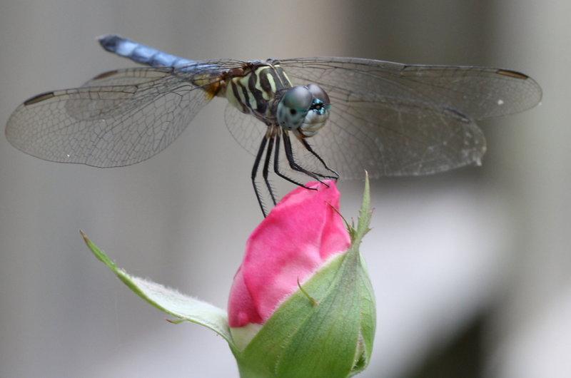 Стрекоза и роза