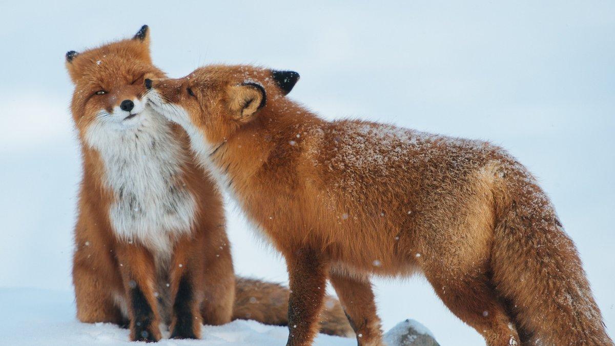 Брачный период у лисицы начинается в январе - феврале.