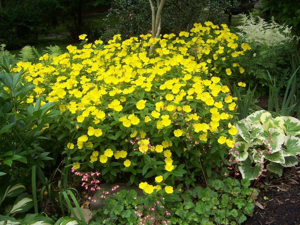 постарался, чтобы желтые цветы в саду названия и фото это далеко