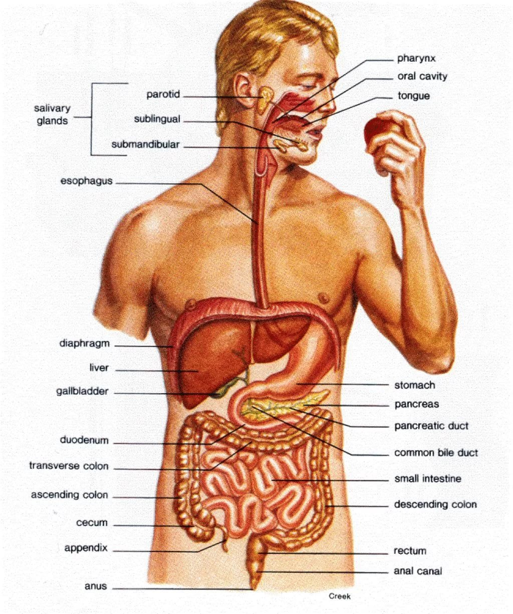 Organ System Of Liver Fosfe Card From User Big2017 In