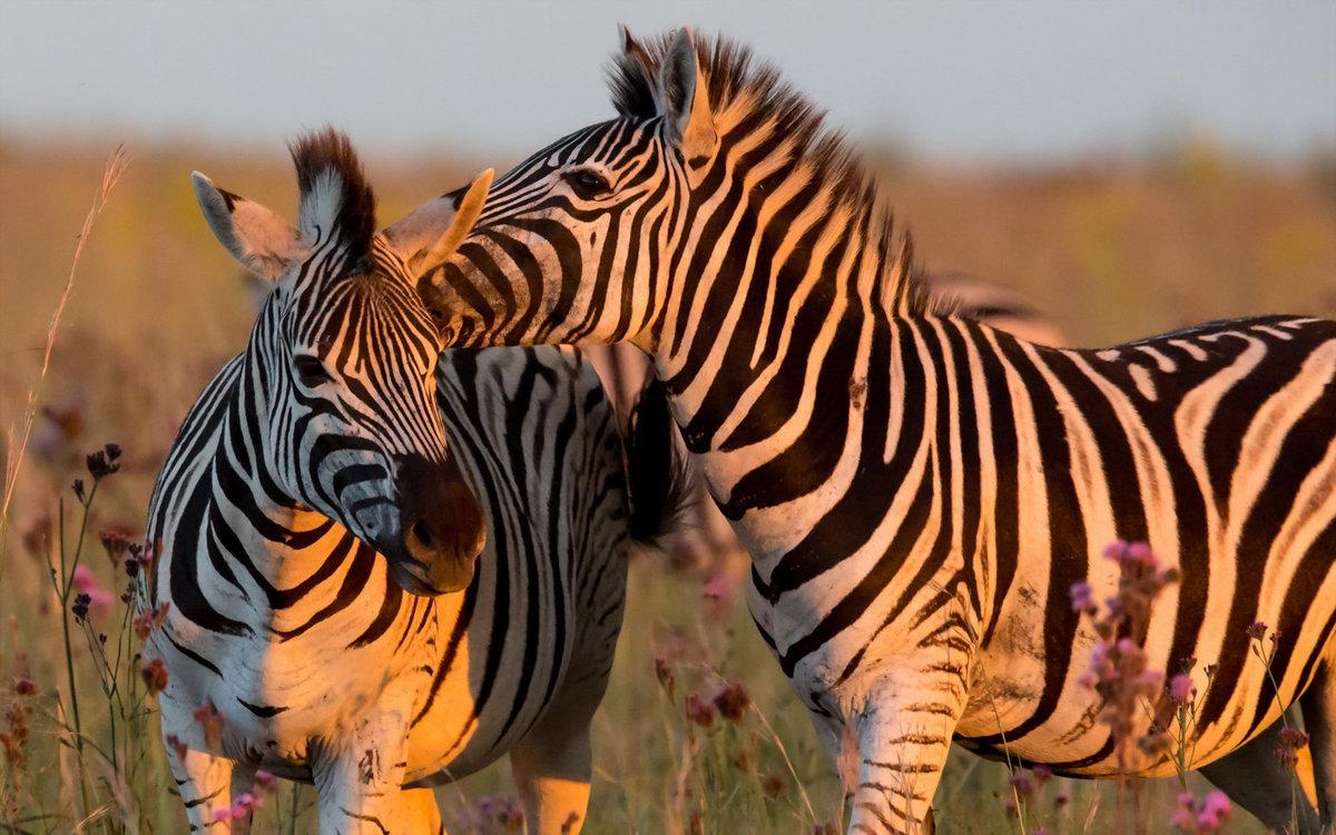 Картинки зебры красивые, поздравление жене днем