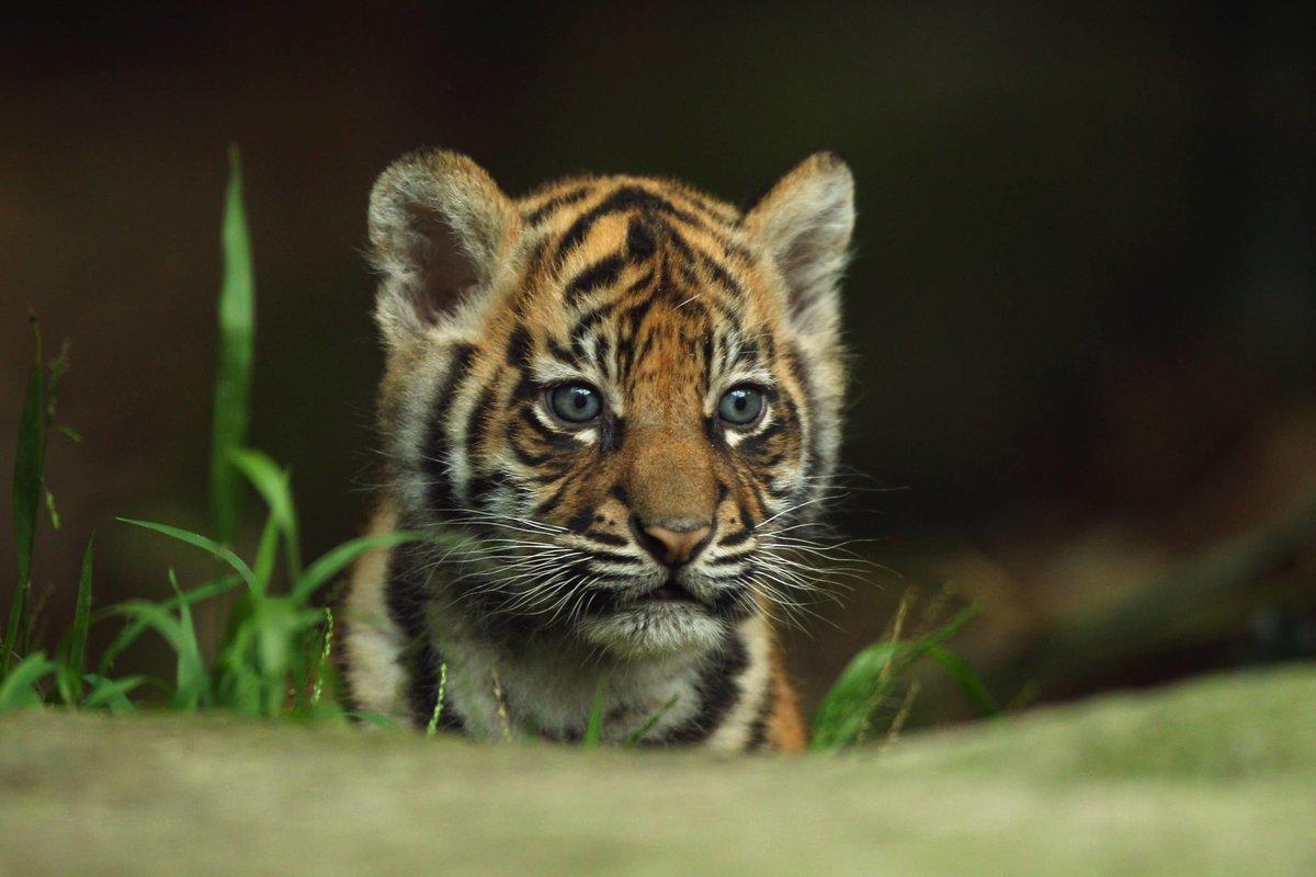 красивые картинки маленьких тигрят соцсетях