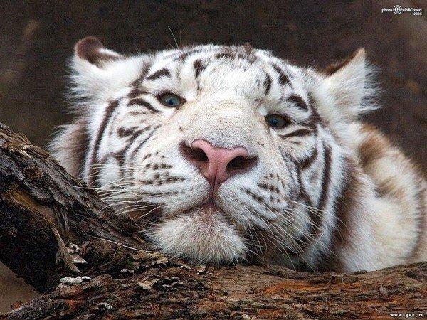 Портрет белого тигра.