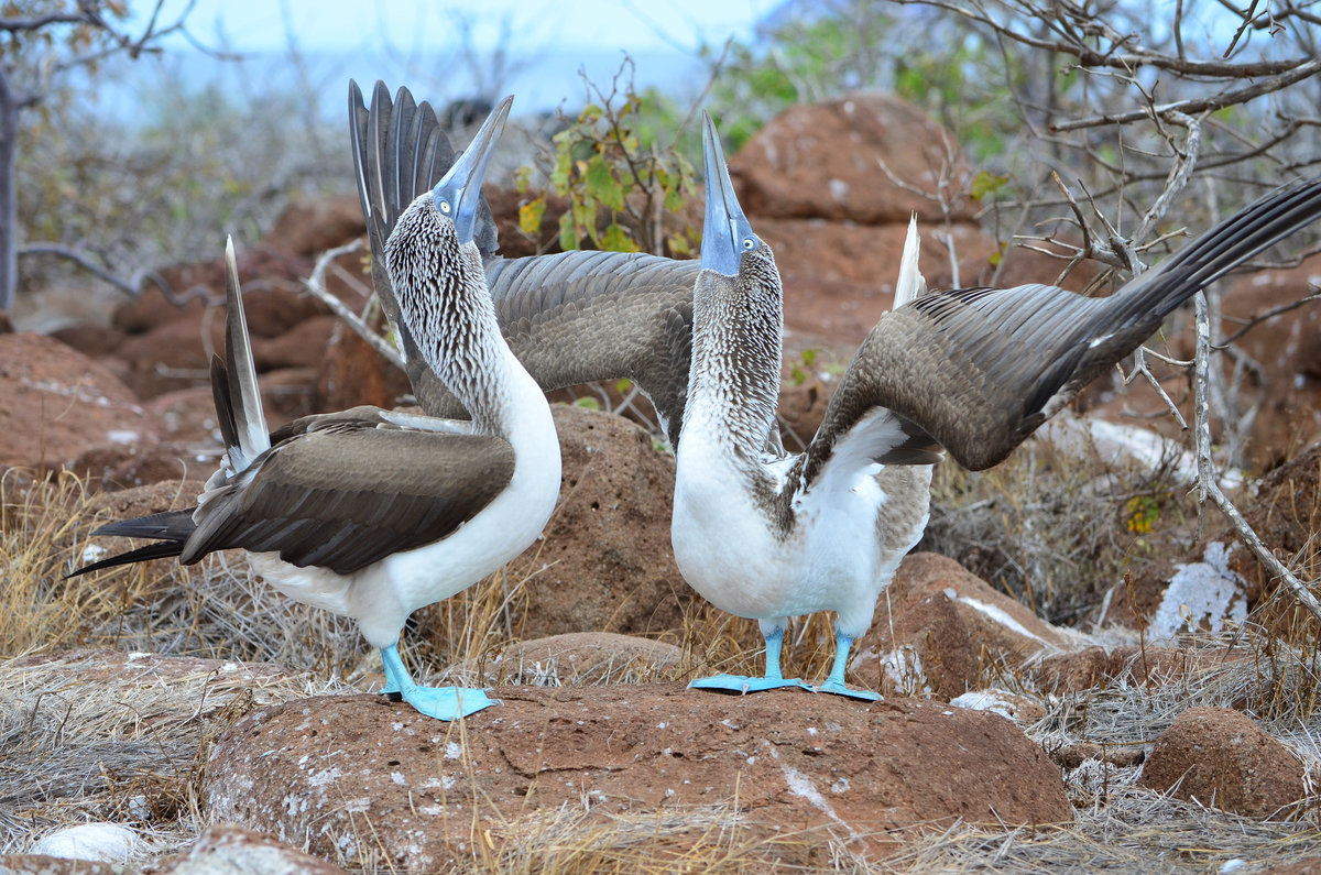 Blue footed boob bird, orgasm hypnotized girl