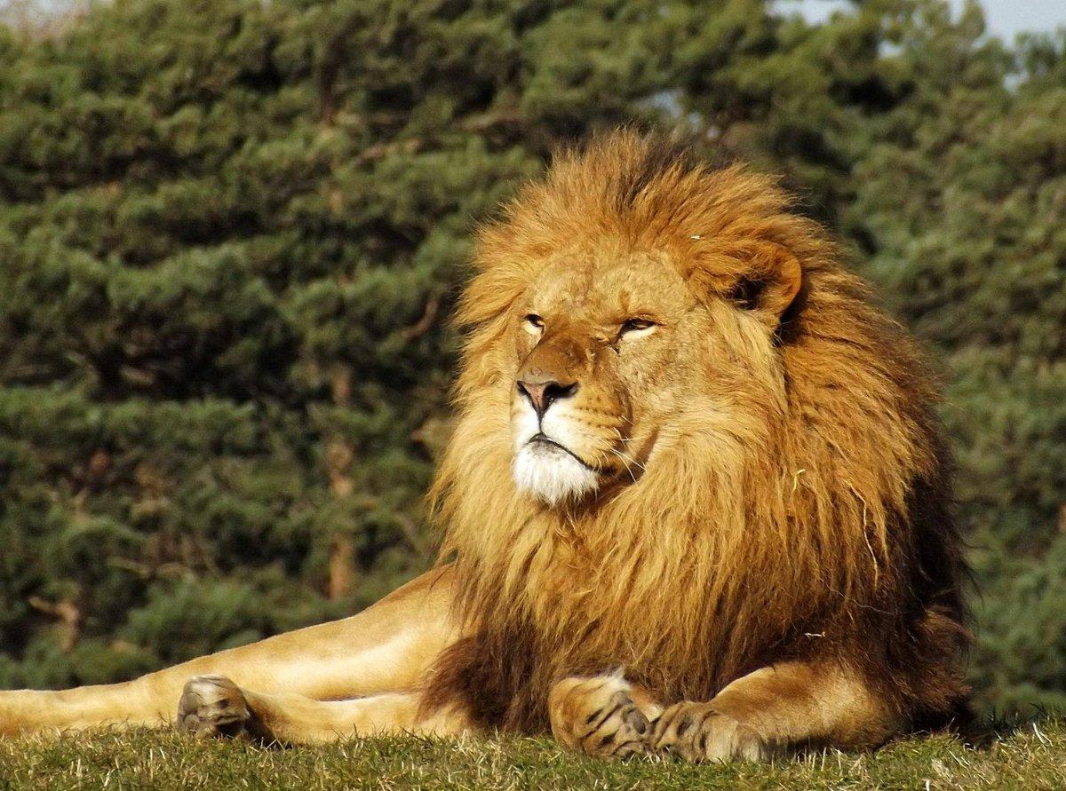начальном картинки про львов в африке нашей