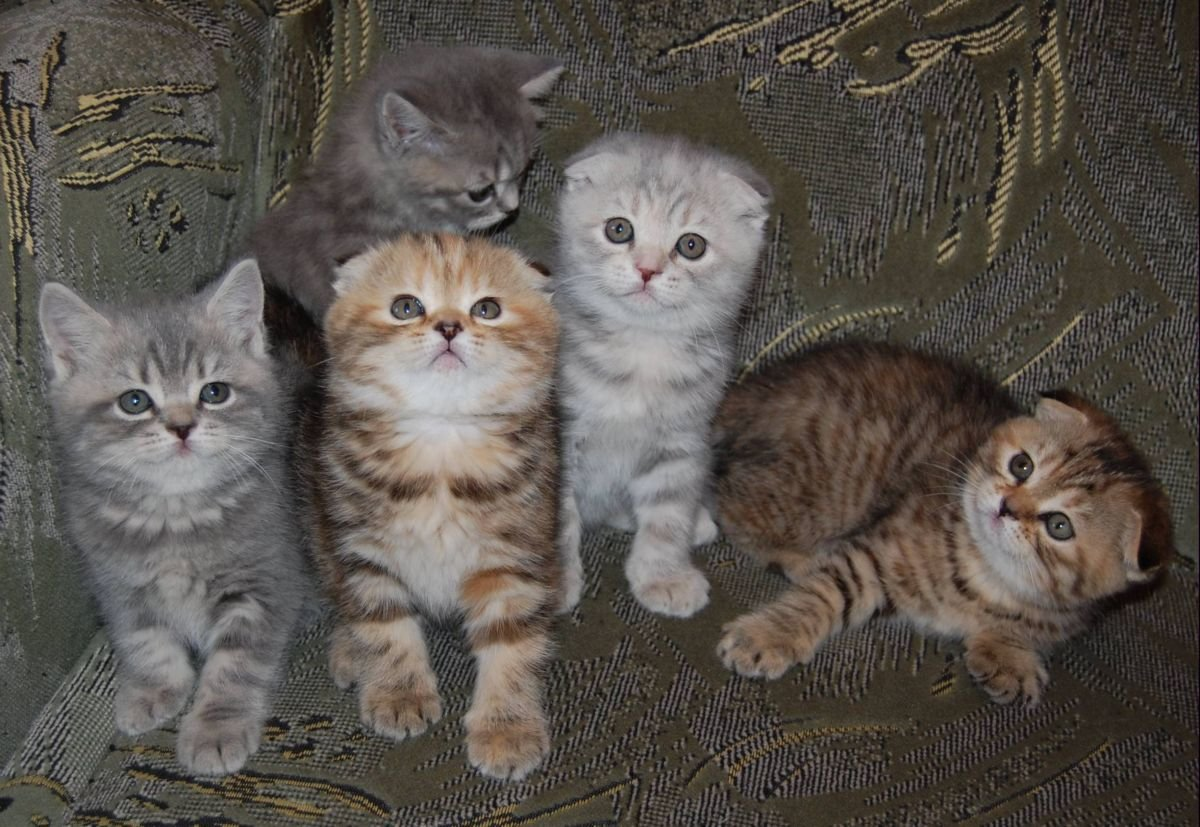 вислоухие котята редкие окрасы фото указанна среднем час