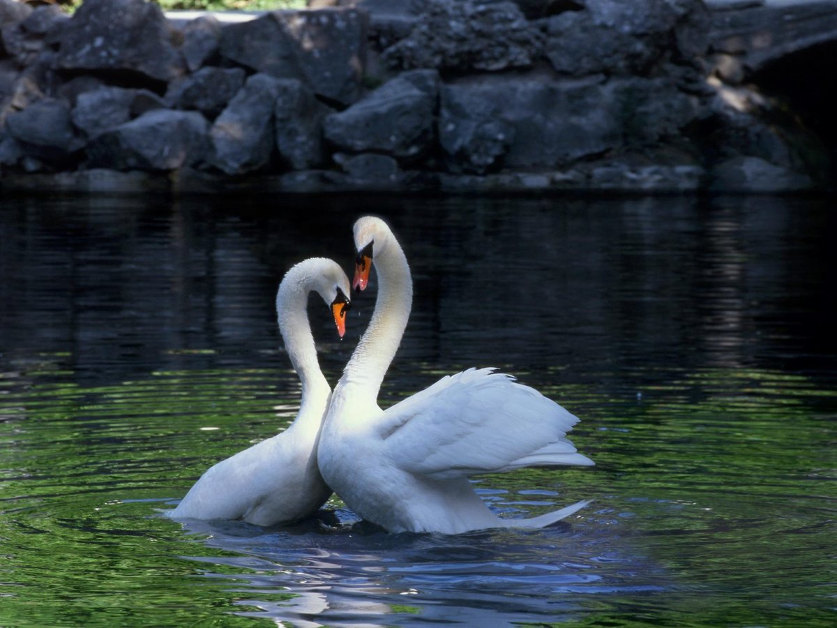Картинки лебеди верность